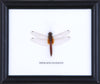 Dragonfly - Real Insect Framed - Natural History Direct Online Shop - 3