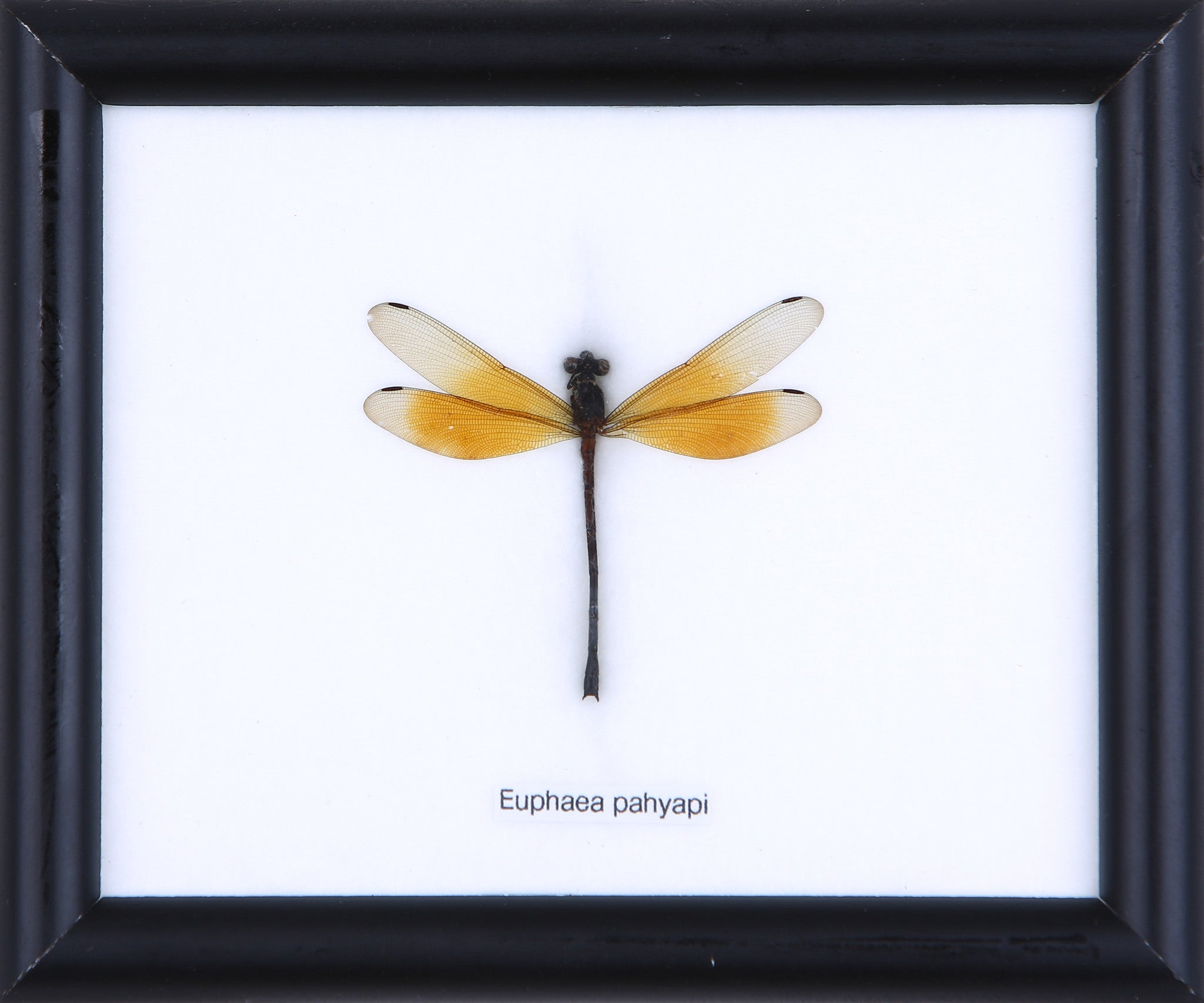 Dragonfly - Real Insect Framed – Natural History Direct