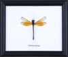 Dragonfly - Real Insect Framed - Natural History Direct Online Shop - 2