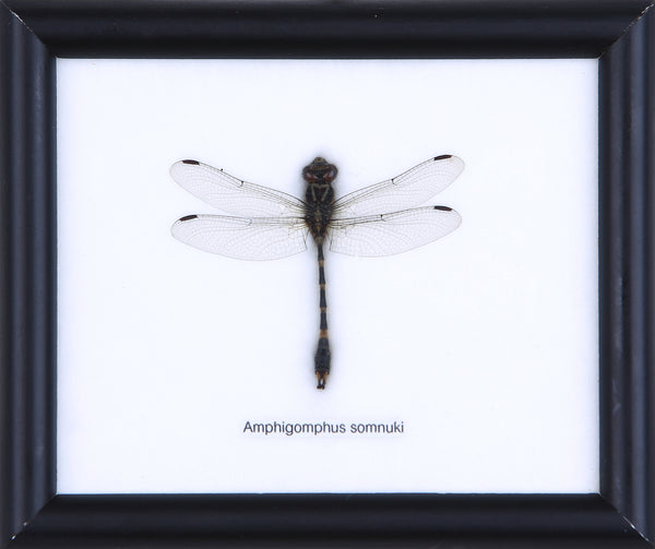 Dragonfly - Real Insect Framed - Natural History Direct Online Shop - 1