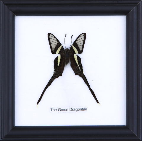 The Green Dragontail - Real Butterfly Framed - Natural History Direct Online Shop