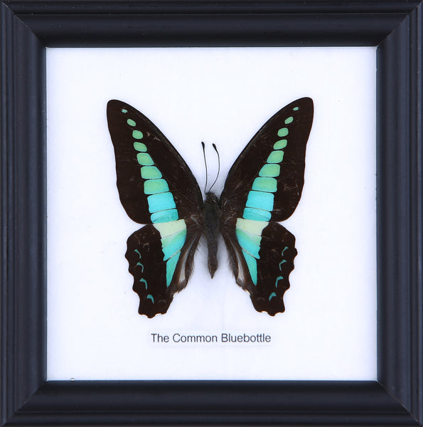 The Common Bluebottle - Real Butterfly Framed - Natural History Direct Online Shop