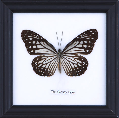 The Glassy Tiger - Real Butterfly Framed - Natural History Direct Online Shop