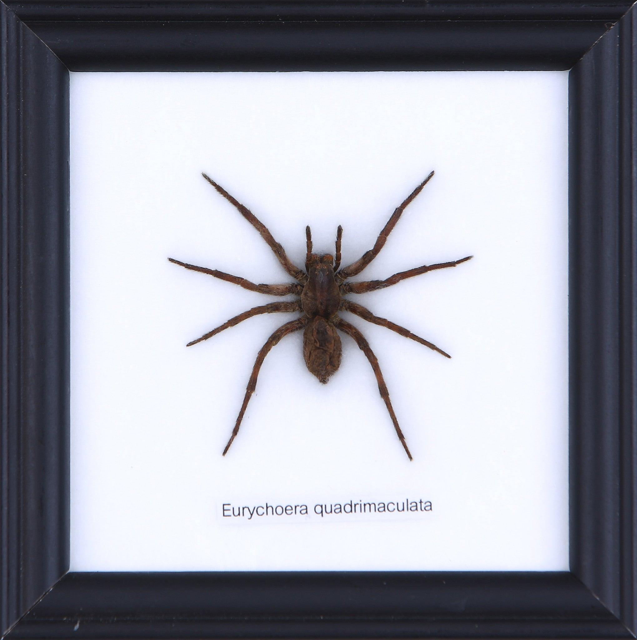 The Hunting Spider - Real Spider Framed – Natural History Direct
