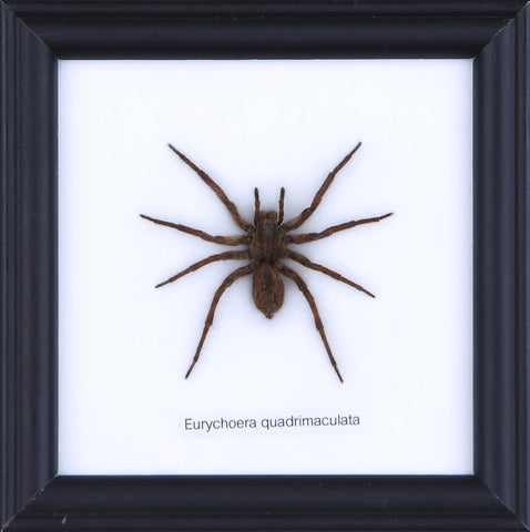 The Hunting Spider - Real Spider Framed - Natural History Direct Online Shop