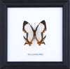 The Common Map - Real Butterfly Framed - Natural History Direct Online Shop