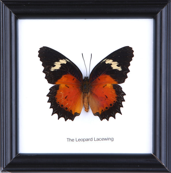 The Leopard Lacewing - Real Butterfly Framed - Natural History Direct Online Shop