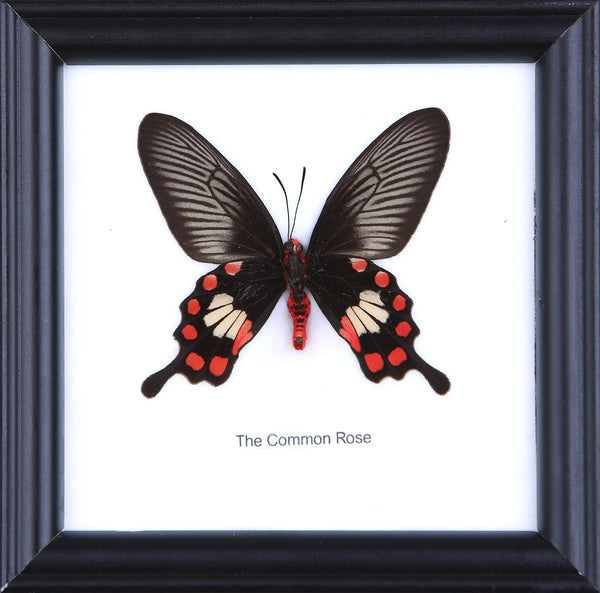 The Common Rose - Real Butterfly Framed - Natural History Direct Online Shop