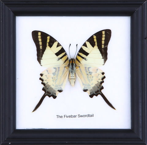 The Fivebar Swordtail - Real Butterfly Framed - Natural History Direct Online Shop