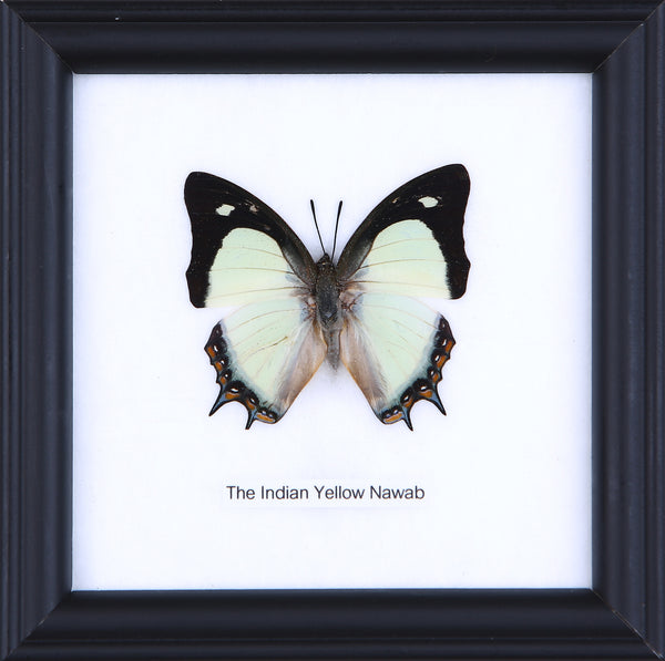 The Indian Yellow Nawab - Real Butterfly Framed - Natural History Direct Online Shop