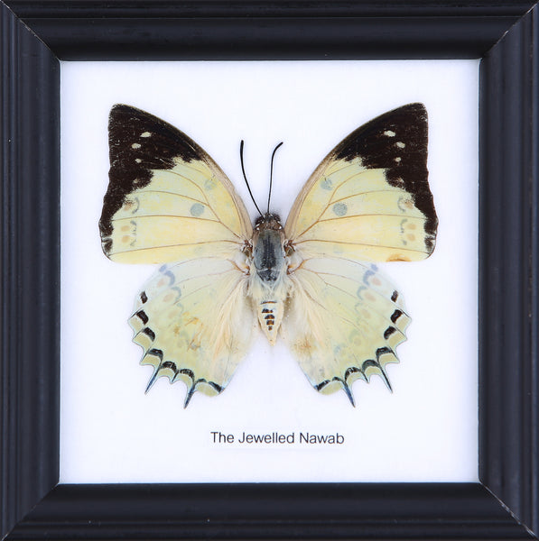 The Jewelled Nawab - Real Butterfly Framed - Natural History Direct Online Shop