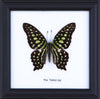 The Tailed Jay - Real Butterfly Framed - Natural History Direct Online Shop