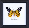 The Day Flying Moth - Real Butterfly Framed - Natural History Direct Online Shop