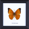 The Little Yeoman - Real Butterfly Framed - Natural History Direct Online Shop