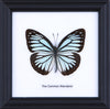 The Common Wanderer - Real Butterfly Framed - Natural History Direct Online Shop