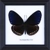 The Striped Blue Crow - Real Butterfly Framed - Natural History Direct Online Shop