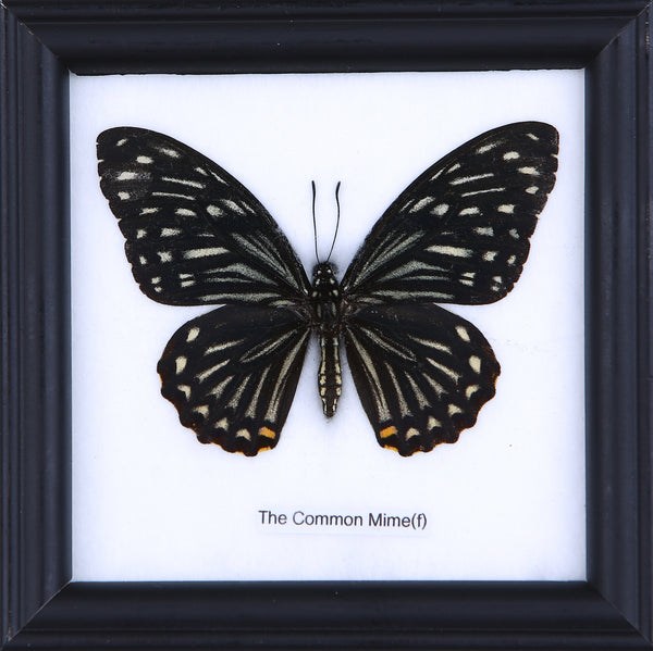 The Common Mine (f) - Real Butterfly Framed - Natural History Direct Online Shop