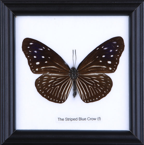 The Striped Blue Crow (f) - Real Butterfly Framed - Natural History Direct Online Shop