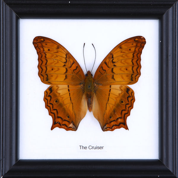 The Cruiser - Real Butterfly Framed - Natural History Direct Online Shop