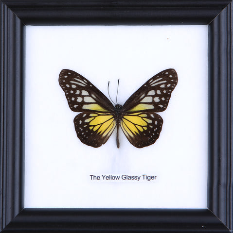 The Yellow Glassy Tiger - Real Butterfly Framed - Natural History Direct Online Shop