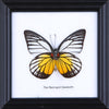 The Red Spot Sawtooth - Real Butterfly Framed - Natural History Direct Online Shop