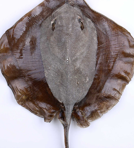 Large Stingray Taxidermy - Natural History Direct Online Shop - 1