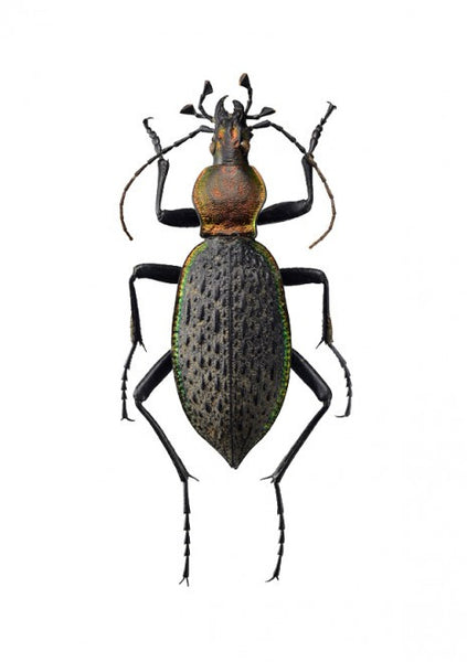 Unique Prints by Swedish photographer Göran Liljeberg | Carabus nankotaizanus - Natural History Direct Online Shop - 1