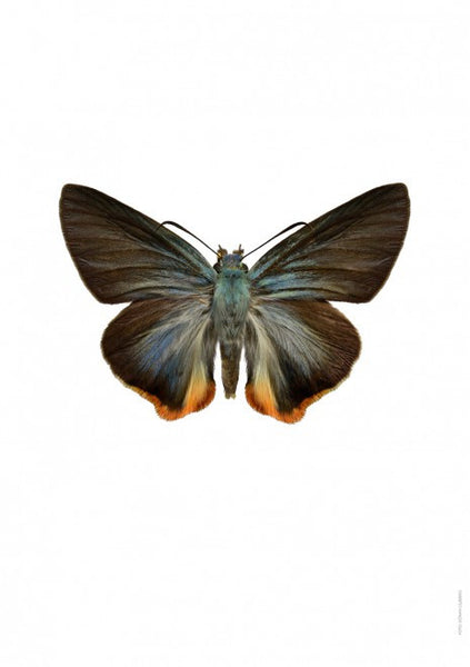 LILJEBERGS UNIQUE INSECT PRINTS | Choaspes benjaminii - Natural History Direct Online Shop - 1