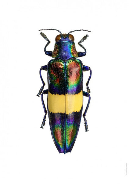 LILJEBERGS UNIQUE INSECT PRINTS | Chrysochroa toulgoeti - Natural History Direct Online Shop - 1
