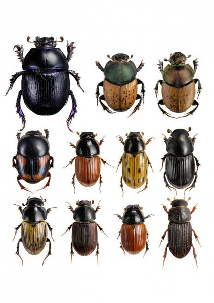 LILJEBERGS UNIQUE INSECT PRINTS | Dung beetles - Natural History Direct Online Shop - 1