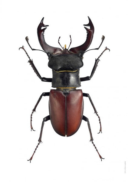 Unique Prints by Swedish photographer Göran Liljeberg | Lucanus cervus ♂ - Natural History Direct Online Shop - 1