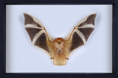 Painted Bat Taxidermy (Kerivoula picta) Glass Frame - Natural History Direct Online Shop