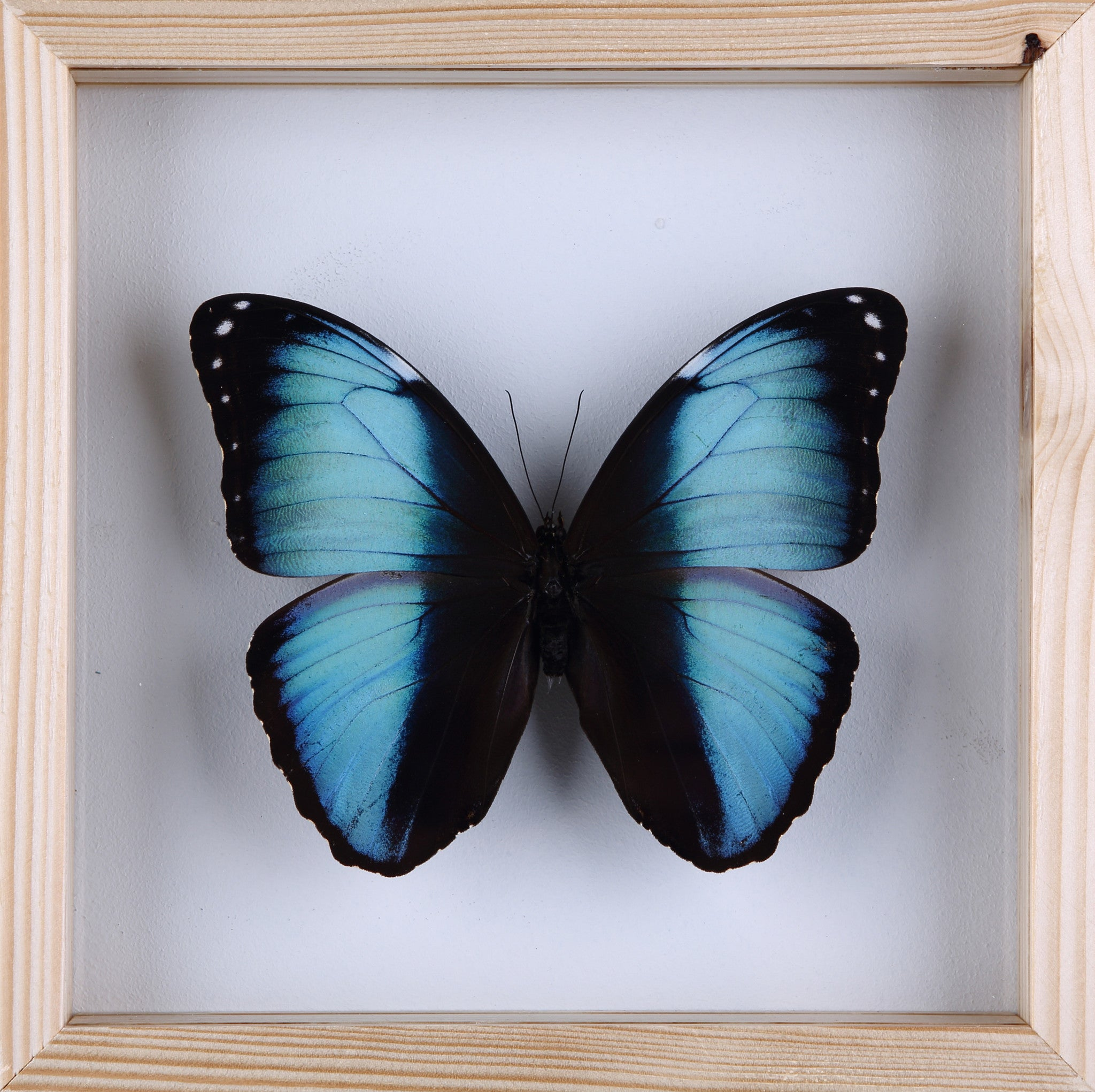 ... The Achilles Morpho Butterfly   Framed Butterfly   See Through Glass  Frame   Natural History Direct