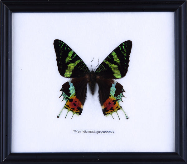 The Madagascan Sunset Moth - Real Butterfly Framed - Natural History Direct Online Shop