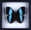 The Achilles Morpho Butterfly - Framed Butterfly - See Through Glass Frame - Natural History Direct Online Shop - 2