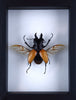 Orange Stag beetle (Odontolabis elegans) Wings Spread, Framed - Natural History Direct Online Shop - 2