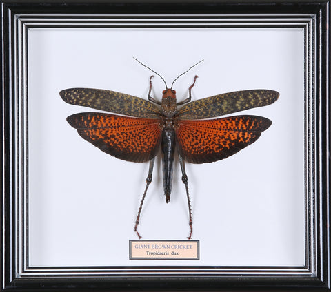 Framed Giant Grasshopper #3 | Entomology Frame - Natural History Direct Online Shop