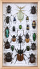 Entomology Beetle Display | Taxidermy Collection of Mounted Exotic Insects | Large Vertical Design 350 x 200 x 45 mm