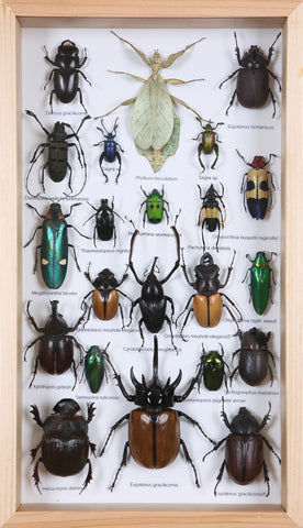 Entomology Insect Frame | Beetle Collection Taxidermy frame-12-004  - Natural History Direct Online Shop - 1