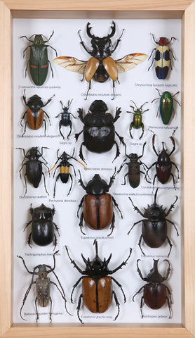 Entomology Insect Frame | Beetle Collection Taxidermy frame-12-005  - Natural History Direct Online Shop - 1