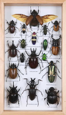 Entomology Insect Frame | Beetle Collection Taxidermy frame-12-006  - Natural History Direct Online Shop - 1