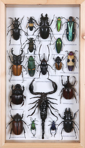 Entomology Insect Frame | Beetle Collection Taxidermy frame-12-007  - Natural History Direct Online Shop - 1
