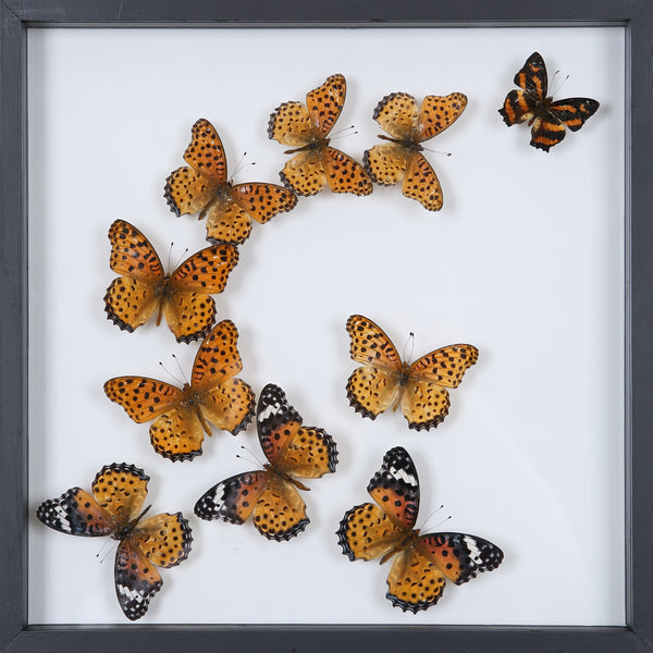 Exotic Butterflies Mounted in a Glass Frame | No.12-008  - Natural History Direct Online Shop - 1