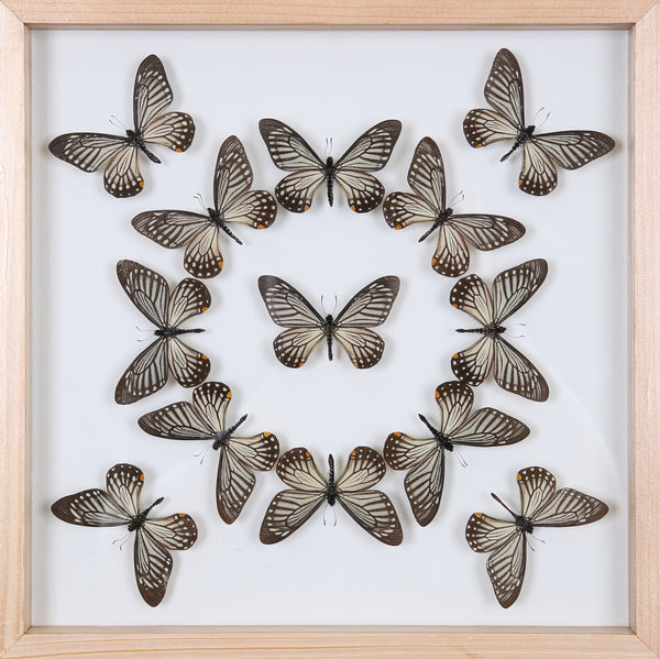 Exotic Butterflies Mounted in a Glass Frame | No.12-009 - Natural History Direct Online Shop - 1