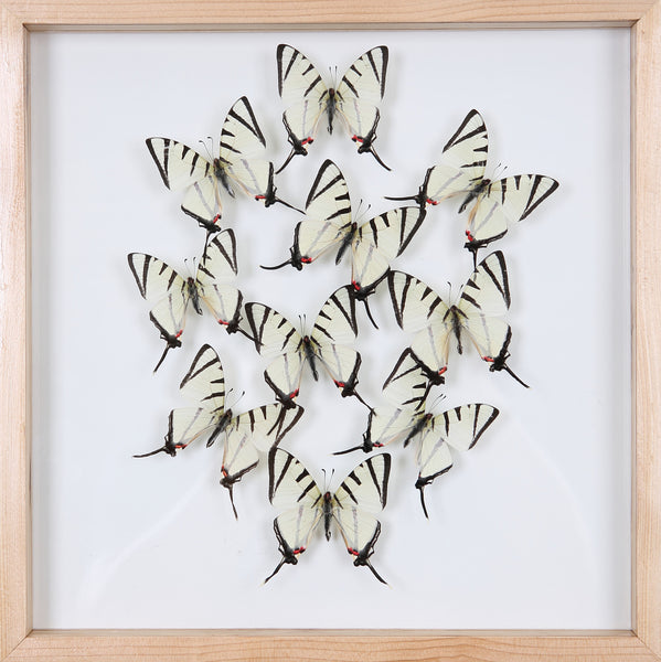 Taxidermy Butterflies Mounted in a Glass Frame | No.12-011 - Natural History Direct Online Shop - 1