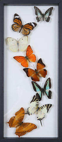 Framed Butterflies | Tall See-through Glass Frame | No.12-F012 - Natural History Direct Online Shop