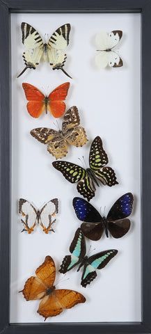Framed Butterflies | Tall See-through Glass Frame | No.12-F013 - Natural History Direct Online Shop