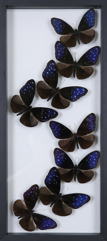 Framed Butterflies | Tall See-through Glass Frame | No.12-F014 - Natural History Direct Online Shop