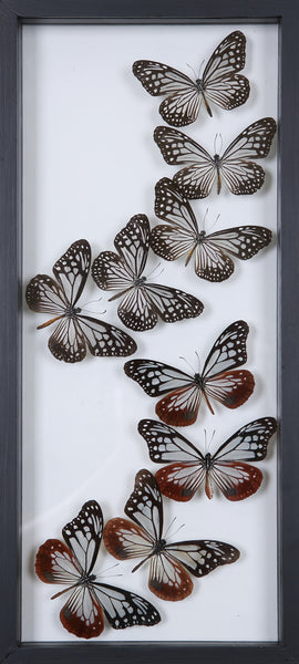 Framed Butterflies | Tall See-through Glass Frame | No.12-F016 - Natural History Direct Online Shop