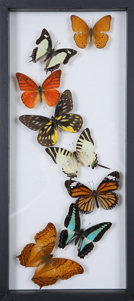 Framed Butterflies | Tall See-through Glass Frame | No.12-F017 - Natural History Direct Online Shop